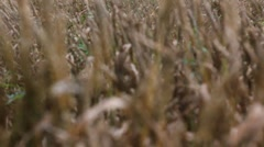 Wheat field after rain - tracking focus from back to front Stock Footage