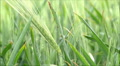 spikelets of wheat, plant disease HD Footage