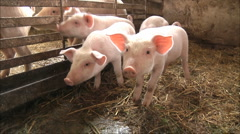 Pig Farm - stock footage
