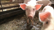 Stock Video Footage of Pig Farm