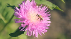 Bee, flower  pollination 003 Stock Footage
