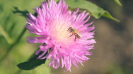 Stock Video Footage of bee, flower 003