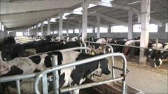 Cows on the farm Stock Footage