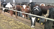 Stock Video Footage of cows on the farm
