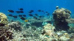 School of fish Surgeonfish Stock Footage