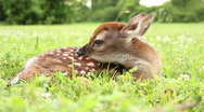 Stock Video Footage of Fawn in Grass