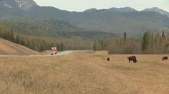 Buffalo along Alaska-Alcan Highway, Canada Stock Footage