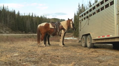 Horses used for Hunting along Alaska Highway, Canada Stock Footage