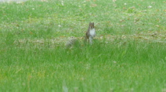 Squirrel standing in the grass - stock footage