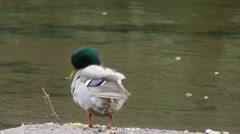 Male mallard by river Stock Footage