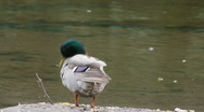 Male mallard by river Stock Footage