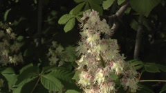 bee,blossom of horse-chestnut tree/conker - stock footage