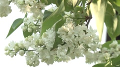 Lilac syringa in the garden Stock Footage