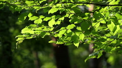Hornbeam leaves - stock footage