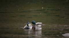 Two male mallards in the river - stock footage