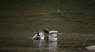 Two male mallards in the river Stock Footage