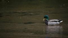 Mallard in the river Stock Footage
