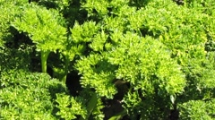 Parsley - stock footage