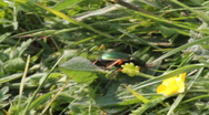 Stock Video Footage of Carabus auratus - Golden Ground Beetle