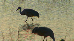 Sandhill Cranes Walking at the Bosque del Apache Stock Footage