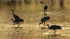 Sandhill Cranes in Golden Light at the Bosque del Apache Stock Footage
