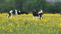 Calves and Cows in Field of Buttercups Stock Footage