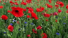 Red poppies on the field swaying in the wind Stock Footage