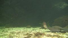 Swimming stingray Stock Footage