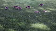 Baby canada goose Stock Footage