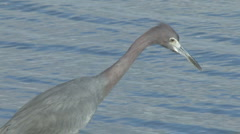 Reddish egret closeup Stock Footage