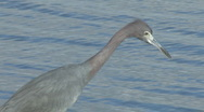 Stock Video Footage of reddish egret closeup