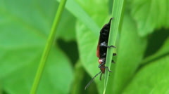 Red Headed Cardinal Beetle Moving on Green Leaf and Nearly Falling Off Stock Footage