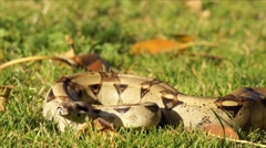Snake in the Grass HD Stock Footage
