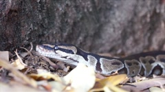 Ball Python by the Tree HD Stock Footage