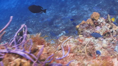 Queen Angelfish--Cozumel III Stock Footage