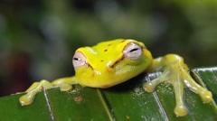 Spotted treefrog (Hypsiboas punctatus) waking up - stock footage