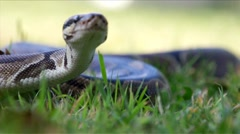 Ball Python in the Grass HD Stock Footage