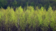 Birch trees swinging in the wind Stock Footage