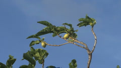 Stock Video Footage of Raiatea fruit and tree blue sky