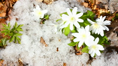 Snowdrop flowers and melting snow - timelapse Stock Footage