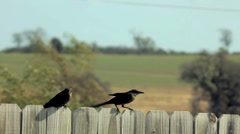 Two Texas Grackle (blackbird) on a fence. Stock Footage