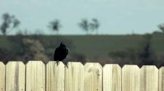 Texas Grackle (blackbird) on a fence. Stock Footage