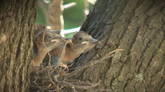 Baby jays on the nest - stock footage
