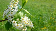 Blossom bird cherry tree branch Stock Footage