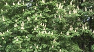Stock Video Footage of chestnut tree,
