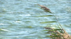 Close-up of reed on the waterside - stock footage