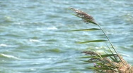 Close-up of reed on the waterside Stock Footage