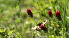 Swallowtail Stock Footage