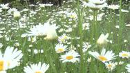 Daisy beautiful flower Stock Footage