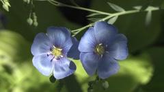 Flax flowers Stock Footage